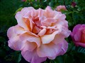 the pink to peach rose