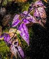 Leaves-013109