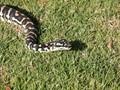 Jungle Python