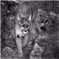 North American Cougar -- the Big Cat