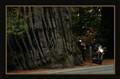 Giant California Redwoods (Sequoia sempervirens) - Humboldt county