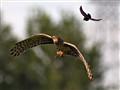 Harried Harrier