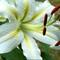 DCP_0902_1200-Cherborough White Oriental Lily
