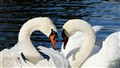 Swan_Meet_Greetings