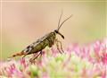 Scorpionfly takin' a leak...