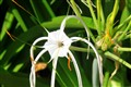 Spiderlilly Cancun