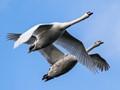 A pair of Mute Swans (Cygnus olor)...