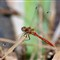 Striped Meadowhawk (Sympetrum pallipes)