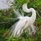 Breat Egret Display