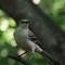 Northern Mockingbird: SAMSUNG CSC