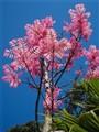 Chinese Cedar Tree