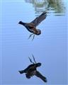 gallinule (moorhen) landing