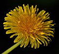 The Humble But Beautiful Dandelion.