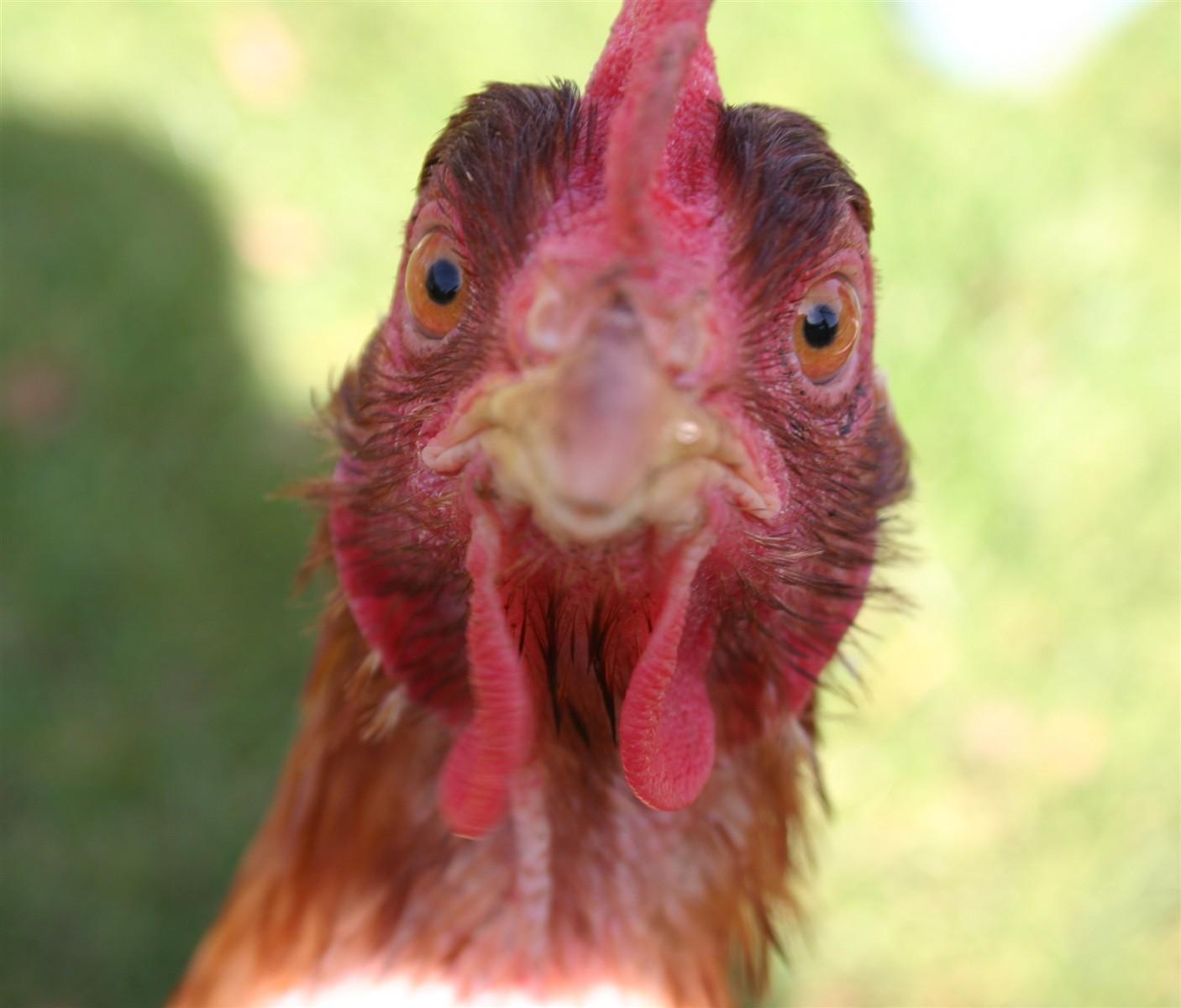 Chicken Funny Face: Itrybutfail: Galleries: Digital ...