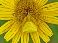 Yellow Mimicry