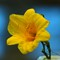Day Lily1