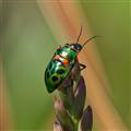 Xmas beetle