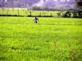 Solitary Reaper