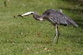 Great blue heron vs garter snake