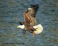 Bald Eagle fishing the Iowa River in Coralville, Iowa.