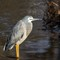 White faced heron_0267