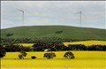 Field of canola and windmills