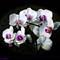 White Orchids challenge P1090097