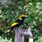 Regent Bowerbird (male)
