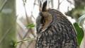 Horned Owl 1
