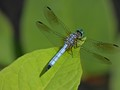 Dragonfly on the Green