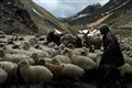 Georgian Shepherd