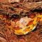 NDW1351 - Corn Snake In Palm Ruff (2020_06_28 12_09_36 UTC)