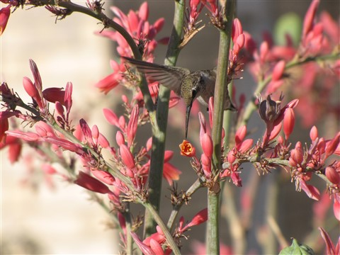 Female hummingbird at Red Yucca by DebbyS