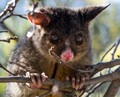 Ms Brushtail
