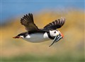 Survival of the fittest - Puffin bringing home the fish supper