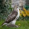 Hawk 055
