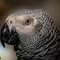 Grey African Parrot
