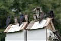 Purple Martins