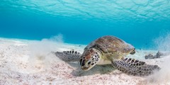 Green turtle in the shallows