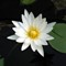 Nymphaea alba- (White Water Lily)