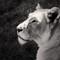 Lioness-1600