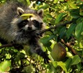 Masked bandit caught stealing pears in the pear trees.