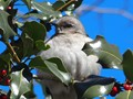 Mocking Bird on Holly Bush