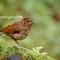 Juvenile Blue Robin 3