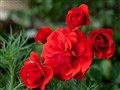 Roses of Valentine's