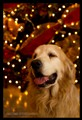 Robin, my Golden Retriever