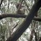 Wild Koala