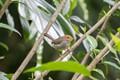 Olive-backed Tailorbird - Bali, Indonesia