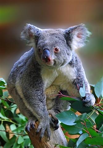 Koala cute2