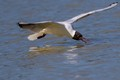 black-headed gull: the art of eating by flying